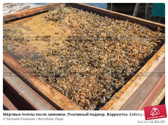 Купить «Мёртвые пчёлы после зимовки. Пчелиный подмор. Варроатоз. Colony collapse disorder: dead bees after wintering. Varroosis.», фото № 33452351, снято 29 марта 2020 г. (c) Евгений Романов / Фотобанк Лори