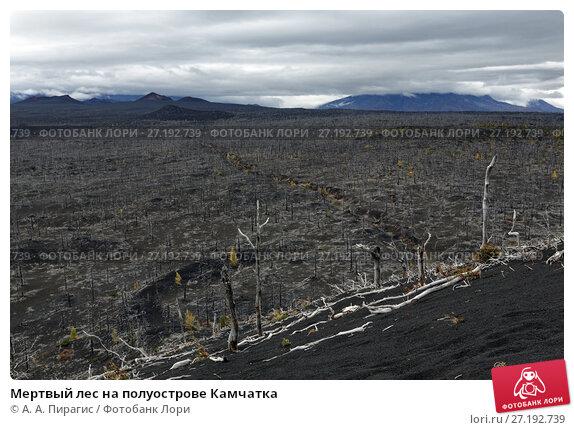 Купить «Мертвый лес на полуострове Камчатка», фото № 27192739, снято 17 сентября 2013 г. (c) А. А. Пирагис / Фотобанк Лори