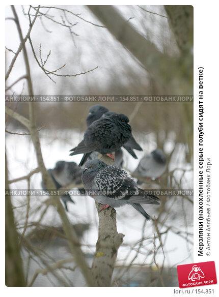 Мерзляки (нахохленные серые голуби сидят на ветке), фото № 154851, снято 18 декабря 2007 г. (c) Антон Алябьев / Фотобанк Лори
