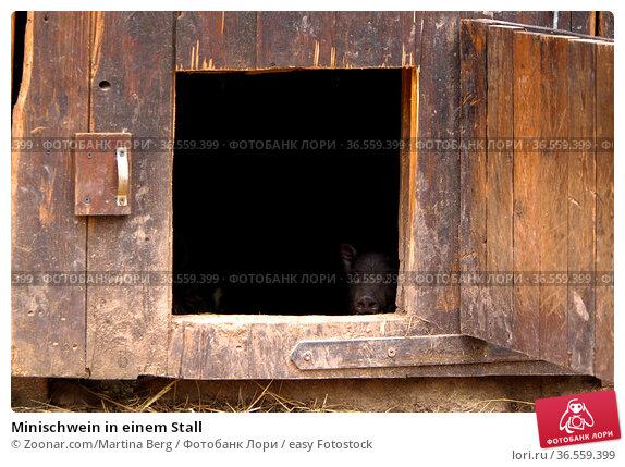 Minischwein in einem Stall. Стоковое фото, фотограф Zoonar.com/Martina Berg / easy Fotostock / Фотобанк Лори