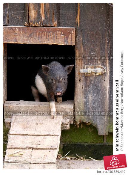 Minischwein kommt aus einem Stall. Стоковое фото, фотограф Zoonar.com/Martina Berg / easy Fotostock / Фотобанк Лори