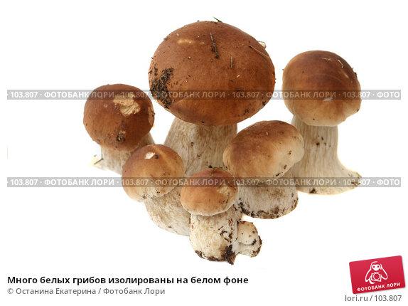 Много белых грибов изолированы на белом фоне, фото № 103807, снято 24 июня 2017 г. (c) Останина Екатерина / Фотобанк Лори