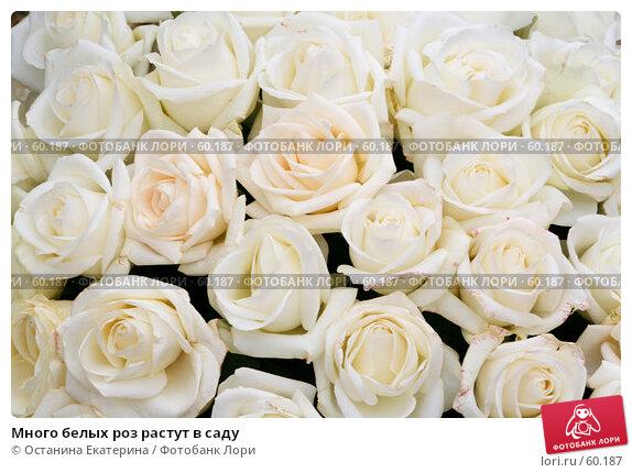 Много белых роз растут в саду, фото № 60187, снято 19 февраля 2007 г. (c) Останина Екатерина / Фотобанк Лори