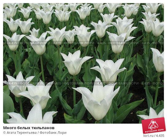 Много белых тюльпанов, фото № 4435, снято 21 мая 2006 г. (c) Агата Терентьева / Фотобанк Лори