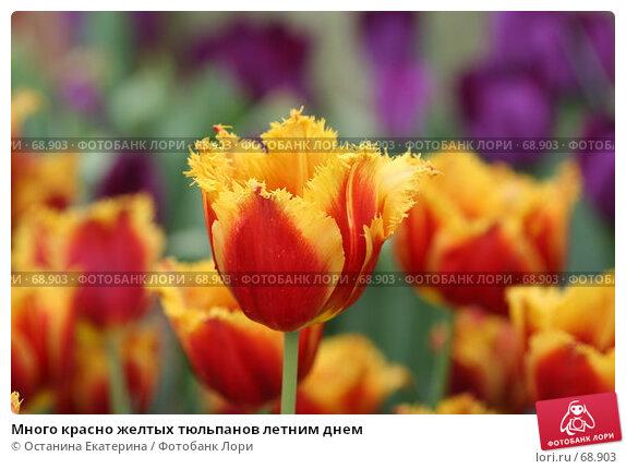 Купить «Много красно желтых тюльпанов летним днем», фото № 68903, снято 19 февраля 2007 г. (c) Останина Екатерина / Фотобанк Лори