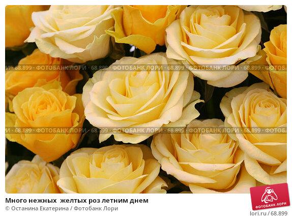 Много нежных  желтых роз летним днем, фото № 68899, снято 19 февраля 2007 г. (c) Останина Екатерина / Фотобанк Лори