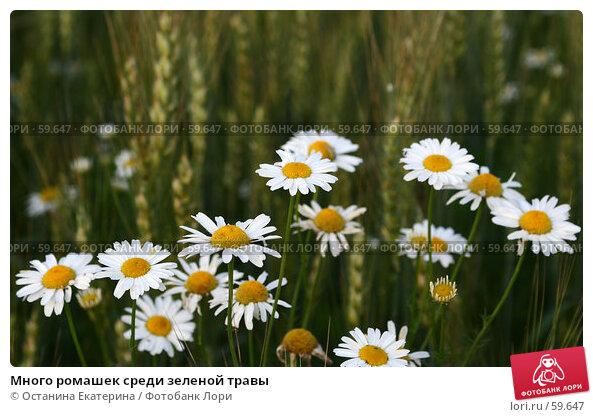 Много ромашек среди зеленой травы, фото № 59647, снято 7 июля 2007 г. (c) Останина Екатерина / Фотобанк Лори