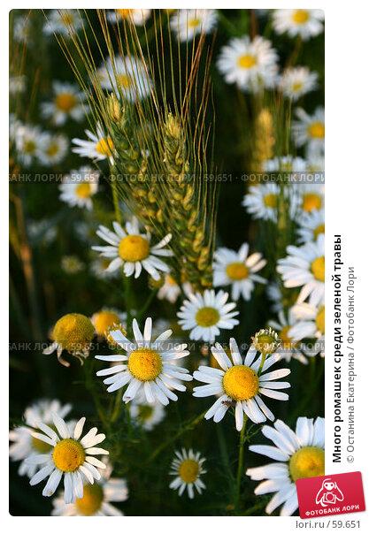 Много ромашек среди зеленой травы, фото № 59651, снято 7 июля 2007 г. (c) Останина Екатерина / Фотобанк Лори