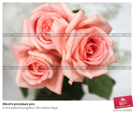 Много розовых роз, фото № 63643, снято 13 июля 2007 г. (c) Останина Екатерина / Фотобанк Лори