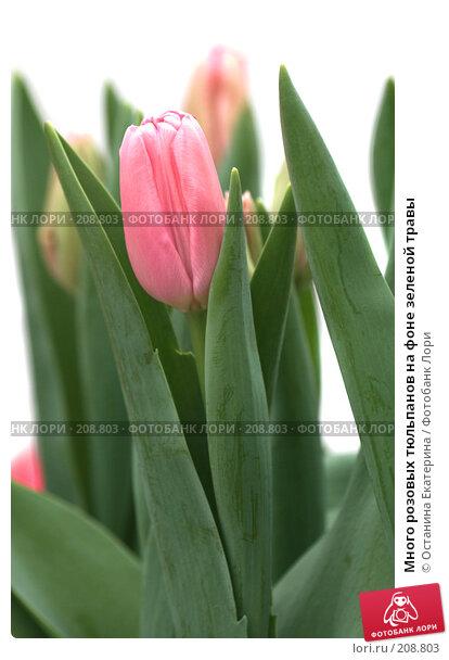 Купить «Много розовых тюльпанов на фоне зеленой травы», фото № 208803, снято 14 февраля 2008 г. (c) Останина Екатерина / Фотобанк Лори
