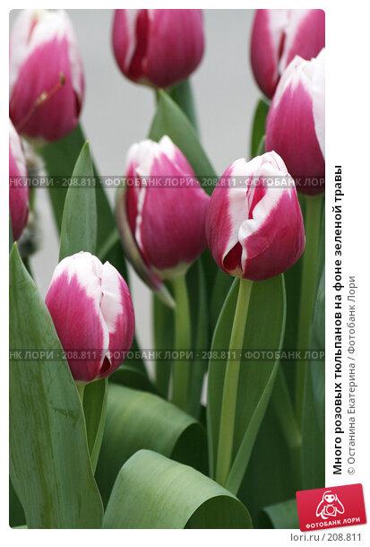 Много розовых тюльпанов на фоне зеленой травы, фото № 208811, снято 14 февраля 2008 г. (c) Останина Екатерина / Фотобанк Лори