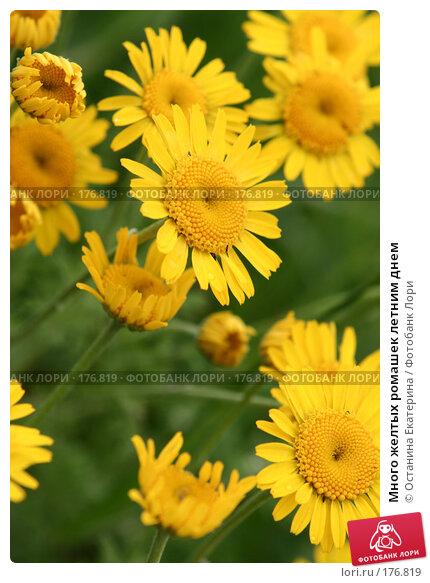 Купить «Много желтых ромашек летним днем», фото № 176819, снято 22 июня 2007 г. (c) Останина Екатерина / Фотобанк Лори