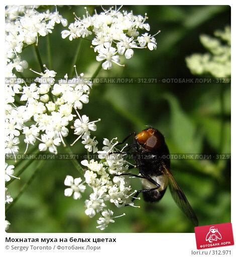 Купить «Мохнатая муха на белых цветах», фото № 312971, снято 11 июня 2007 г. (c) Sergey Toronto / Фотобанк Лори