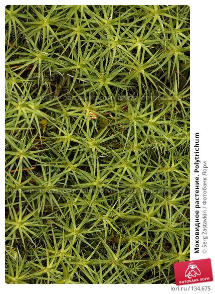 Моховидное растение. Polytrichum, фото № 134675, снято 10 августа 2006 г. (c) Serg Zastavkin / Фотобанк Лори