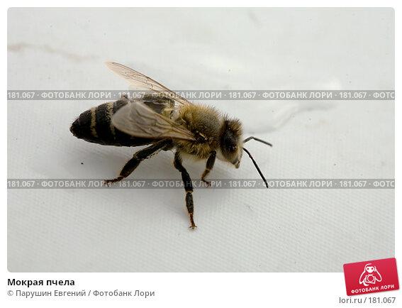 Мокрая пчела, фото № 181067, снято 23 июля 2017 г. (c) Парушин Евгений / Фотобанк Лори