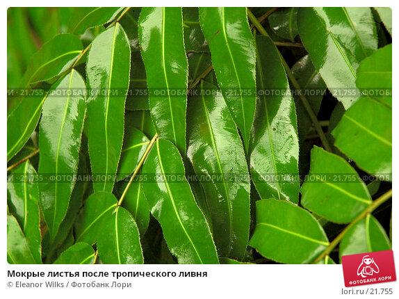 Мокрые листья после тропического ливня, фото № 21755, снято 2 апреля 2007 г. (c) Eleanor Wilks / Фотобанк Лори