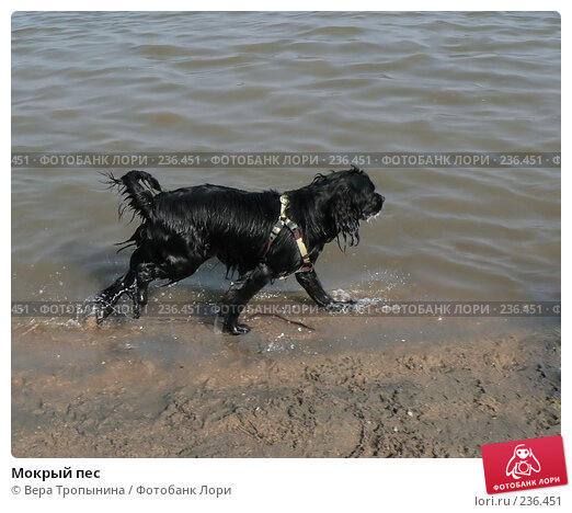 Мокрый пес, фото № 236451, снято 22 января 2017 г. (c) Вера Тропынина / Фотобанк Лори
