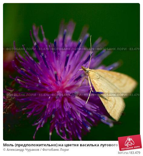 Моль (предположительно) на цветке василька лугового , макро, выборочная фокусировка, фото № 83479, снято 5 июля 2007 г. (c) Александр Чураков / Фотобанк Лори
