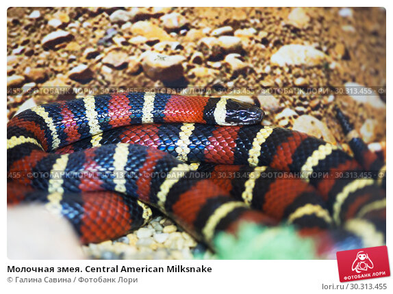 Купить «Молочная змея. Central American Milksnake», фото № 30313455, снято 12 марта 2019 г. (c) Галина Савина / Фотобанк Лори