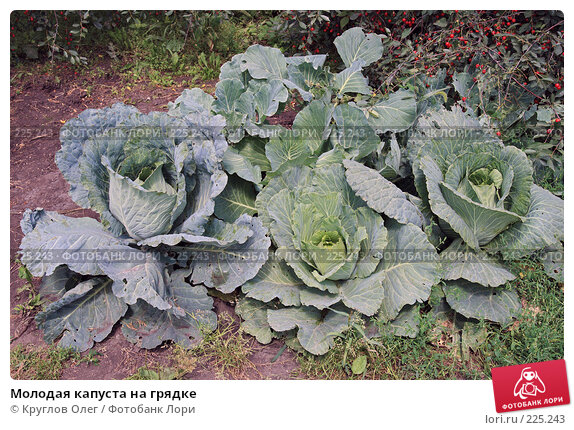 Молодая капуста на грядке, фото № 225243, снято 5 августа 2007 г. (c) Круглов Олег / Фотобанк Лори