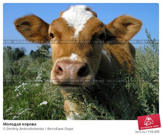 Молодая корова, фото № 118439, снято 18 августа 2007 г. (c) Dmitriy Andrushchenko / Фотобанк Лори