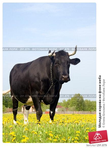 Купить «Молодая корова на фоне неба», фото № 291879, снято 19 мая 2008 г. (c) Елена Блохина / Фотобанк Лори