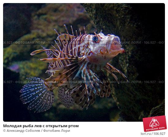 Молодая рыба лев с открытым ртом, фото № 106927, снято 25 августа 2007 г. (c) Александр Соболев / Фотобанк Лори