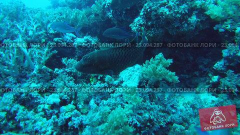 Купить «Молодая рыба Наполеон (Cheilinus undulatus) кормится на коралловом рифе», видеоролик № 23094287, снято 11 июня 2016 г. (c) Некрасов Андрей / Фотобанк Лори