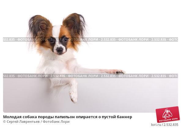Купить «Молодая собака породы папильон опирается о пустой баннер», фото № 2532835, снято 8 мая 2011 г. (c) Сергей Лаврентьев / Фотобанк Лори