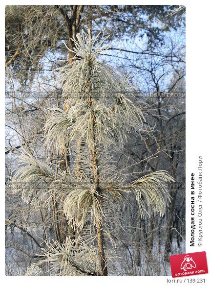 Молодая сосна в инее, фото № 139231, снято 5 декабря 2007 г. (c) Круглов Олег / Фотобанк Лори