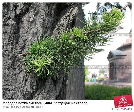 Купить «Молодая ветка лиственницы, растущая  из ствола», фото № 325463, снято 12 июня 2008 г. (c) Заноза-Ру / Фотобанк Лори