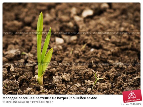 Молодое весеннее растение на потрескавшейся земле, эксклюзивное фото № 249895, снято 5 апреля 2008 г. (c) Евгений Захаров / Фотобанк Лори