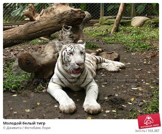 Молодой белый тигр, фото № 103387, снято 25 мая 2017 г. (c) Дживита / Фотобанк Лори