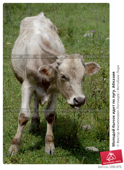Молодой бычок идет по лугу. Абхазия, фото № 250975, снято 18 августа 2004 г. (c) Виктор Филиппович Погонцев / Фотобанк Лори