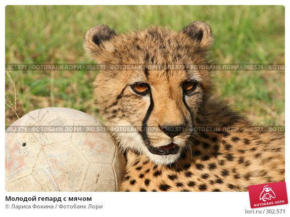 Молодой гепард с мячом, фото № 302571, снято 15 мая 2008 г. (c) Лариса Фокина / Фотобанк Лори