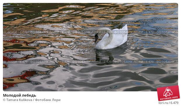 Молодой лебедь, фото № 6479, снято 30 июля 2006 г. (c) Tamara Kulikova / Фотобанк Лори