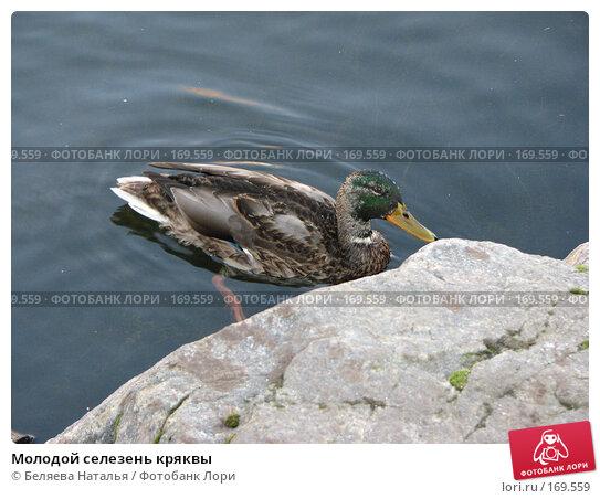 Молодой селезень кряквы, фото № 169559, снято 15 октября 2007 г. (c) Беляева Наталья / Фотобанк Лори