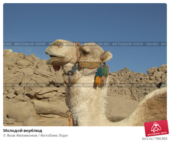 Молодой верблюд, фото № 184003, снято 13 января 2008 г. (c) Яков Филимонов / Фотобанк Лори