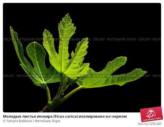 Молодые листья инжира (Ficus carica) изолировано на черном, фото № 276247, снято 7 мая 2008 г. (c) Tamara Kulikova / Фотобанк Лори