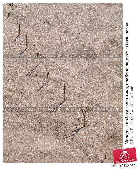 Молодые побеги тростника, пробивающиеся сквозь песок, фото № 132959, снято 10 апреля 2005 г. (c) Борис Панасюк / Фотобанк Лори