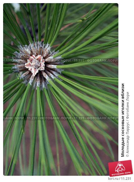 Молодые сосновые иголки вблизи , фото № 11231, снято 10 сентября 2006 г. (c) Александр Паррус / Фотобанк Лори