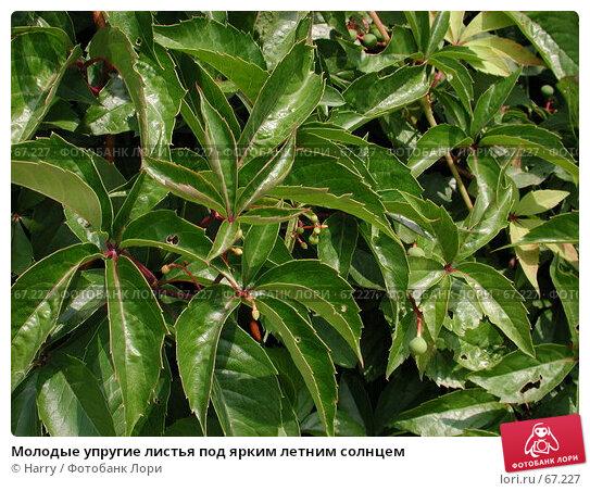 Молодые упругие листья под ярким летним солнцем, фото № 67227, снято 30 июля 2004 г. (c) Harry / Фотобанк Лори