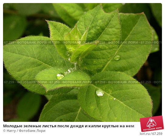 Молодые зеленые листья после дождя и капли круглые на нем, фото № 67259, снято 12 мая 2005 г. (c) Harry / Фотобанк Лори