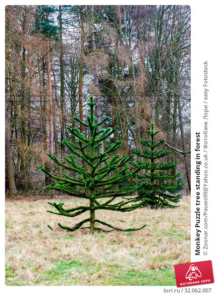 Monkey Puzzle tree standing in forest. Стоковое фото, фотограф Zoonar.com/Pauws99@Yahoo.co.uk / easy Fotostock / Фотобанк Лори