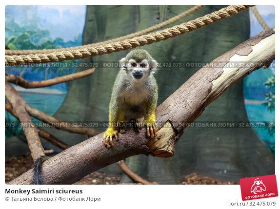 Купить «Monkey Saimiri sciureus», фото № 32475079, снято 6 мая 2019 г. (c) Татьяна Белова / Фотобанк Лори