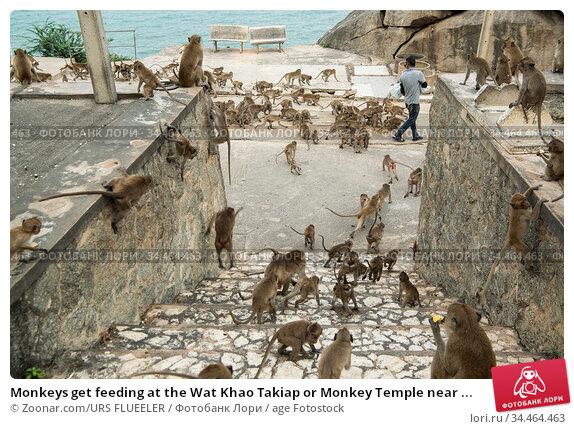 Monkeys get feeding at the Wat Khao Takiap or Monkey Temple near ... Стоковое фото, фотограф Zoonar.com/URS FLUEELER / age Fotostock / Фотобанк Лори