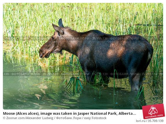 Moose (Alces alces), image was taken in Jasper National Park, Alberta... Стоковое фото, фотограф Zoonar.com/Alexander Ludwig / easy Fotostock / Фотобанк Лори