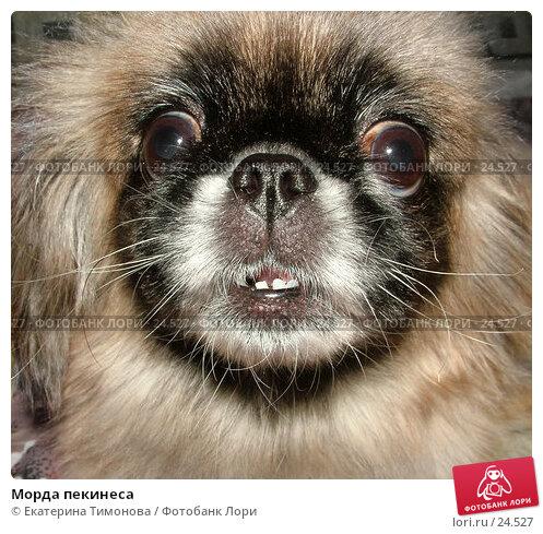 Морда пекинеса, фото № 24527, снято 22 июля 2017 г. (c) Екатерина Тимонова / Фотобанк Лори