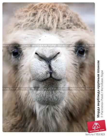 Морда верблюда крупным планом, фото № 153923, снято 11 декабря 2007 г. (c) Parmenov Pavel / Фотобанк Лори
