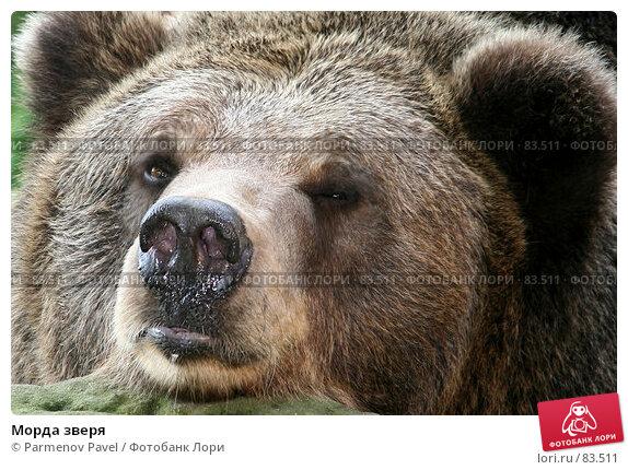 Морда зверя, фото № 83511, снято 3 сентября 2007 г. (c) Parmenov Pavel / Фотобанк Лори